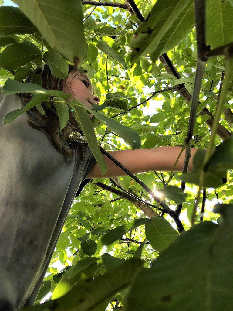 walnoten, notenboom